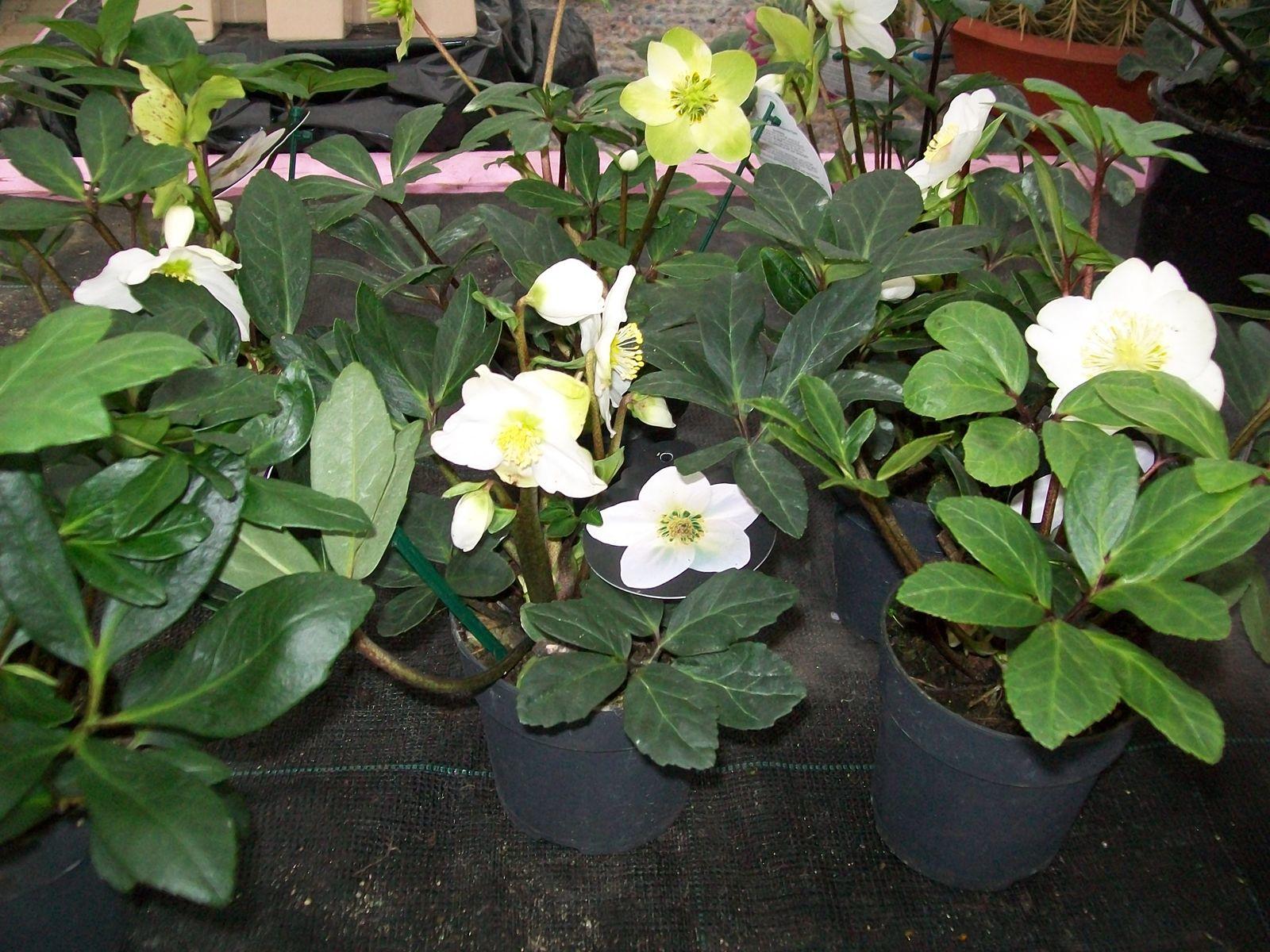 Jardini re pour balcon terrasse en hivers - Rose de noel en pot ...